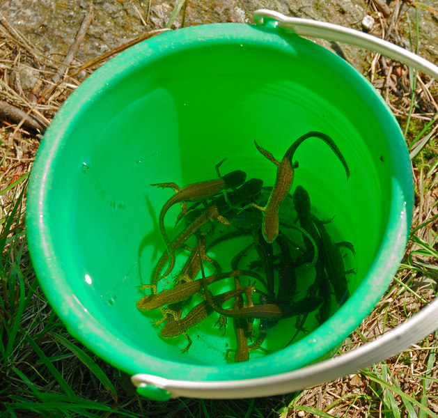 Newts collected from South Pond   (Jul 03, 2006, 03:01pm)