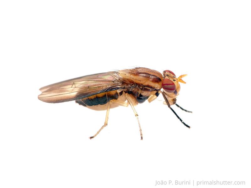 Fly (Diptera) Sorocaba - SP, Brazil August 2012 Urban