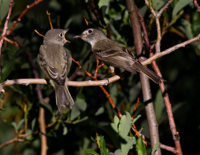 Dusky flycatcher Mammoth Lakes 2014 07 23-7.CR2