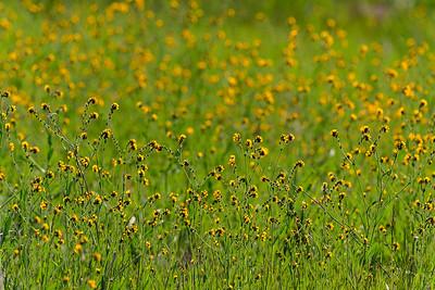 Wildflowers-PaloAlto-ArastraderoPreserve-April