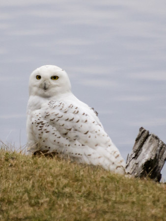 A Snowy Owl Dropped by for Breakfast