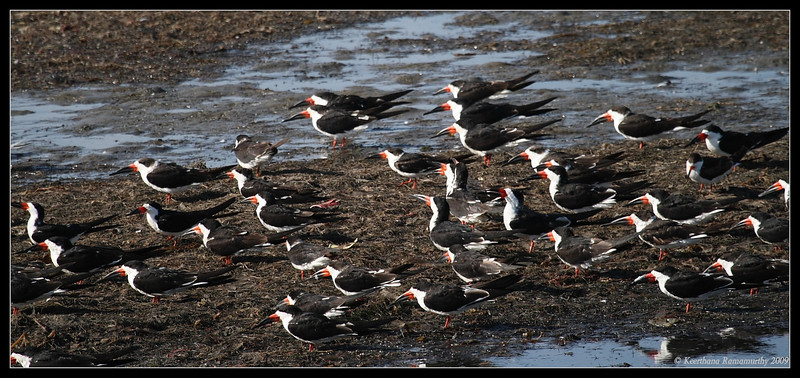 Black Skimmer flock, Robb Field, San Diego River, San Diego County, California, April 2009