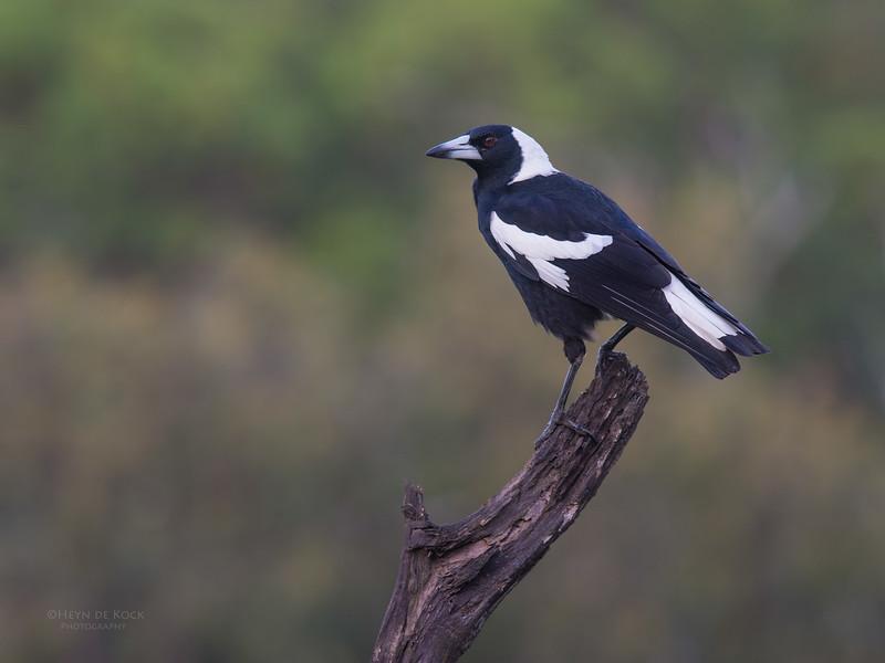 Australian Magpie, Worongary, QLD, March 2016.jpg