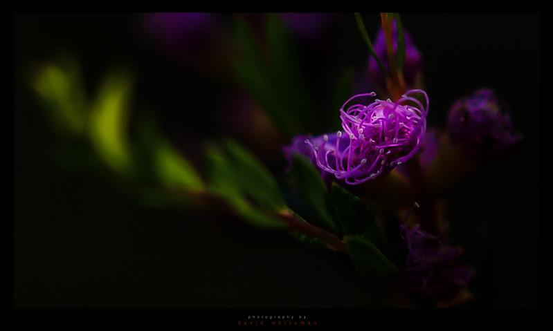 Thyme Honey-Myrtle