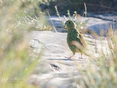 Eastern Ground Parrot (Pezoporus wallicus)