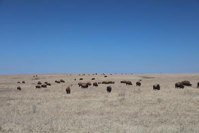 Buffalo of Oklahoma