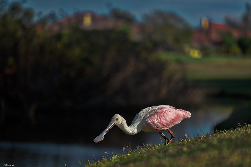 Spoonbill at Cheval GC