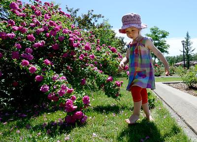 Photos: The Longmont Memorial Rose Garden