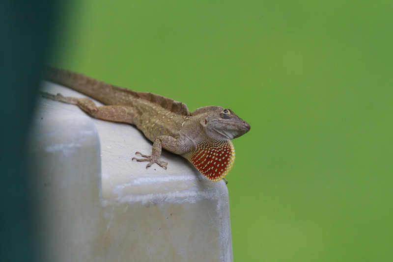 2014-06-01_IMG_0534__Brown Anole,Clearwater,Fl..JPG
