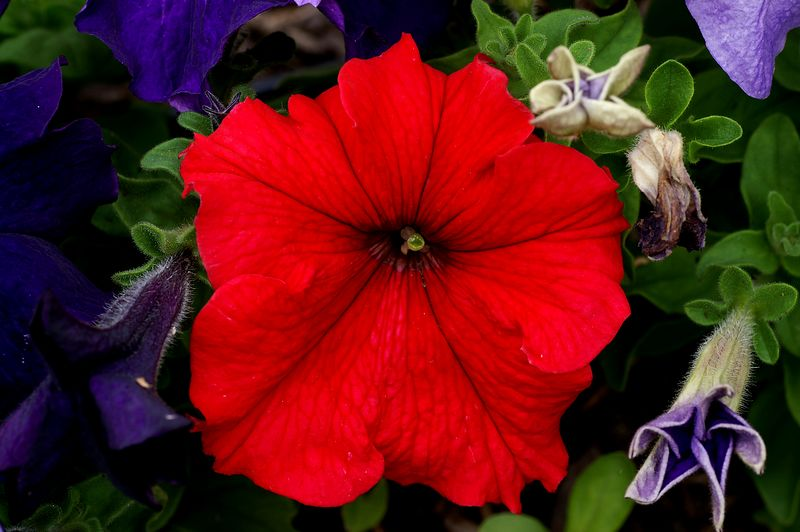 2005 Red Petunia