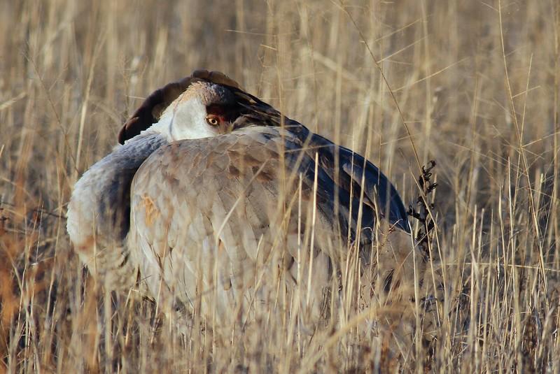 Crane sleep grass horiz_0007645.jpg