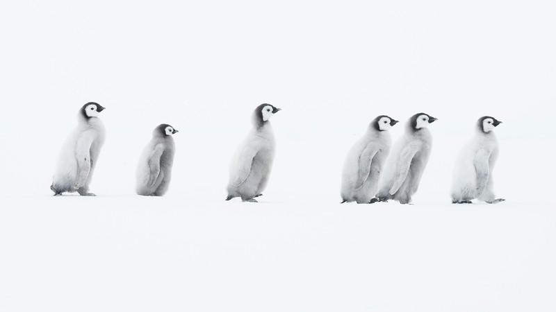Emperor Chicks 1, Gould Bay, Antarctica