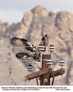 Ospreys P68300.jpg