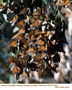 MonarchButterflies14551.jpg