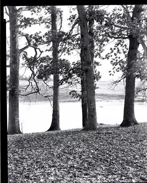 46900550_oak trees