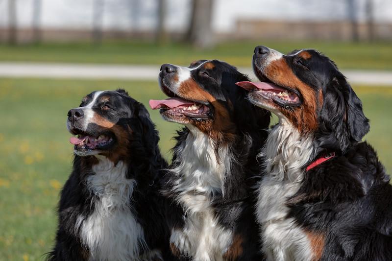 Berner Sennenhund Vivien Dienes