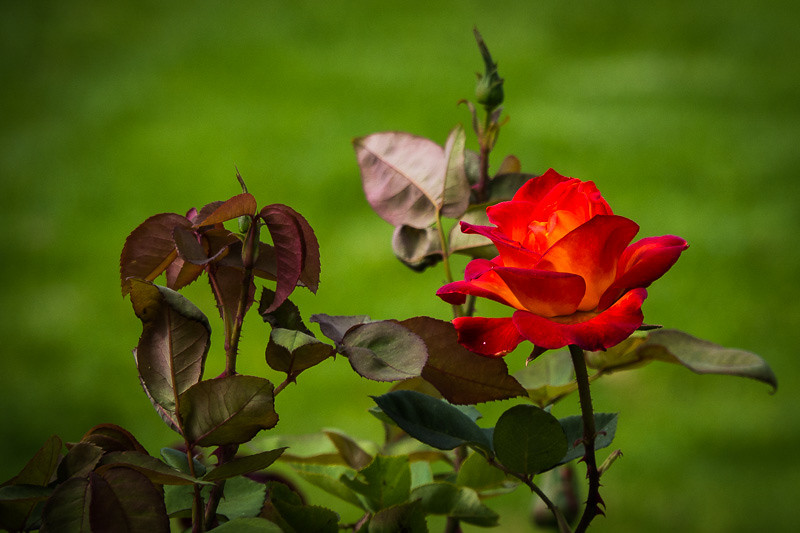 June 16 - Rose and leaves.jpg