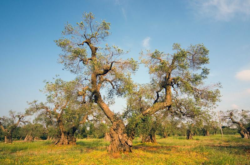 Olive Grove near Lecce, Apulia