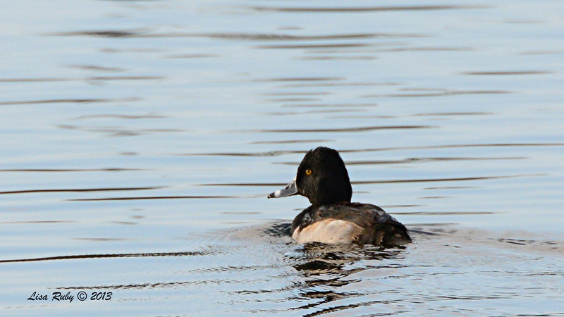 Ring-necked duck - 12/21/13 - Lake Murray