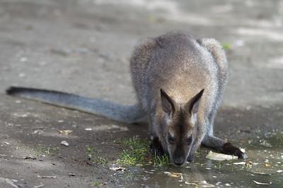 Kelowna'a Creekside Kangaroos