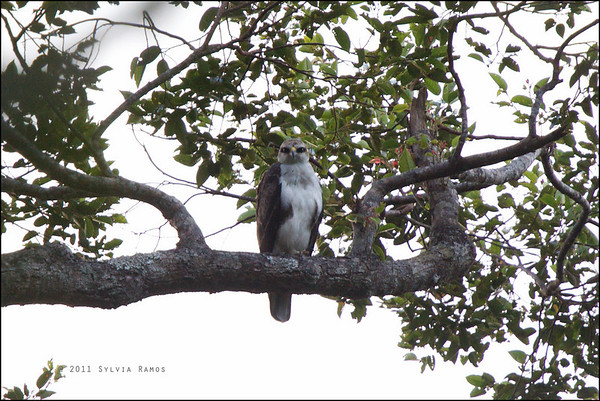 Rufous Bellied Hawk-Eagle