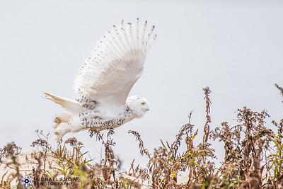 Snowy Owls 17