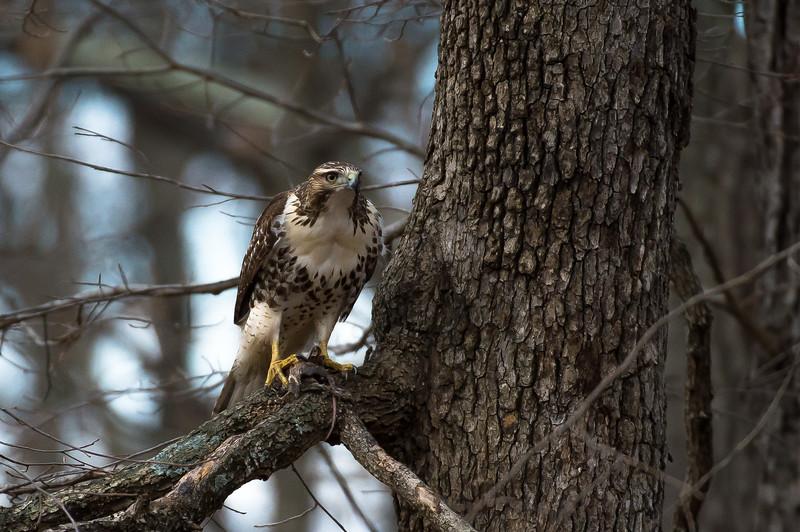 Hawk-49269.jpg