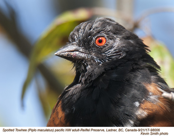 Spotted Towhee A98006.jpg