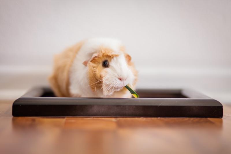 Ginea Pigs-29.jpg
