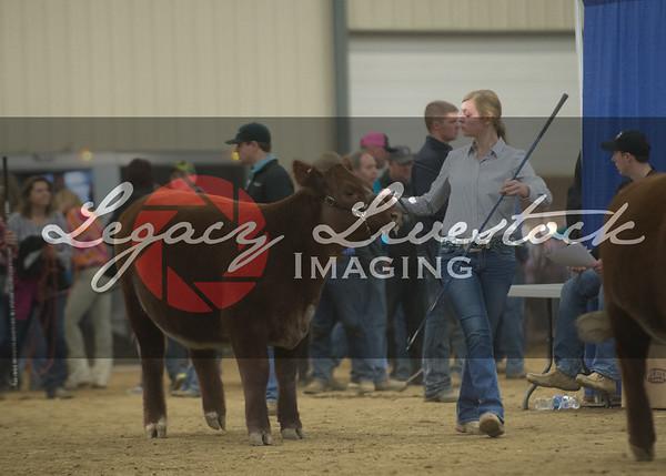 Showmanship/Heifers