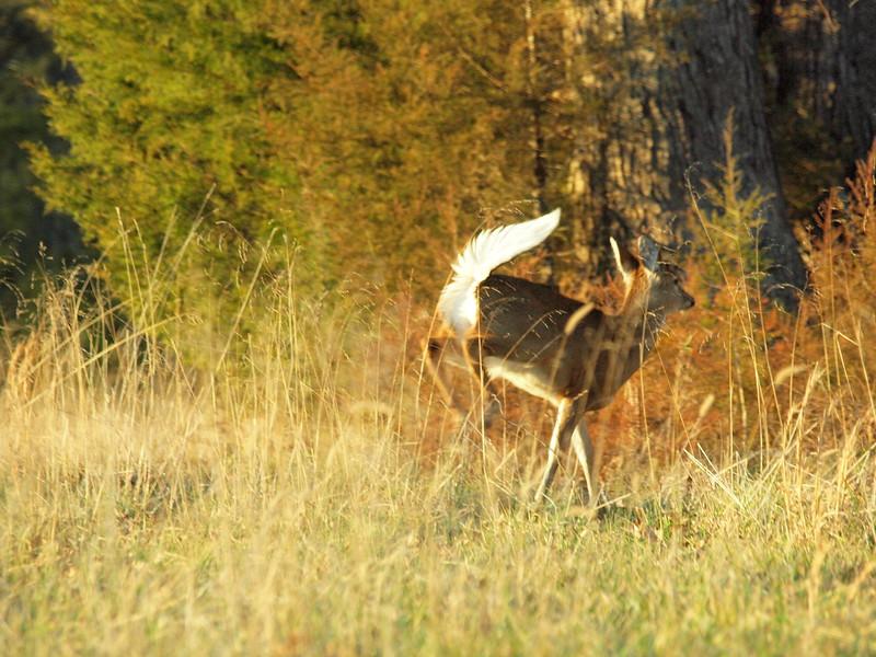 Deer Apco-077.JPG