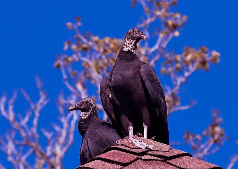 Turkey Vulture-1119.jpg