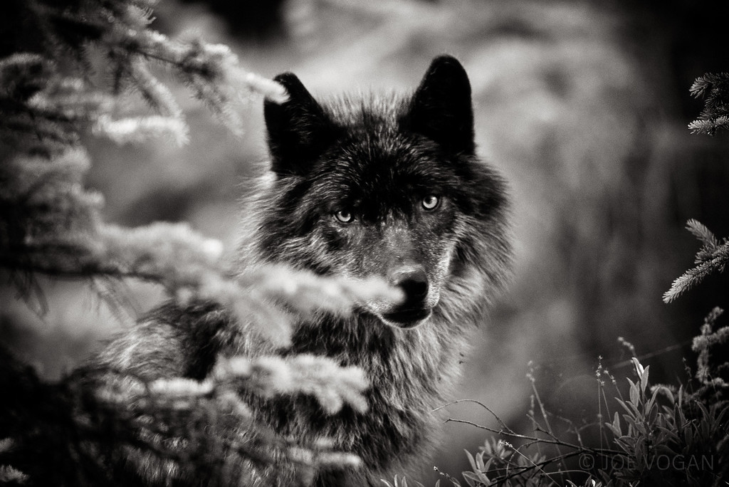 Grey Wolf, British Columbia, Canada