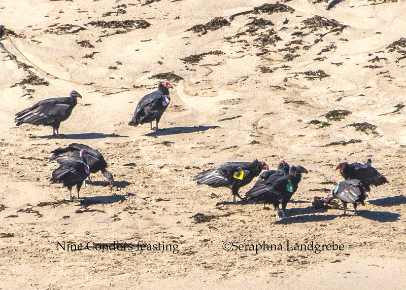 _DSC9528Nine Condors estting on beach.jpg