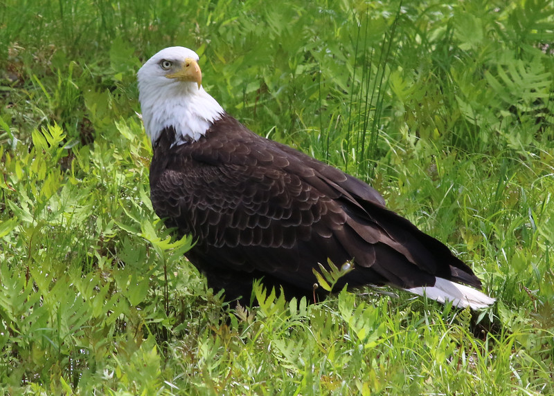 bald eagle wenham lake 88.jpg