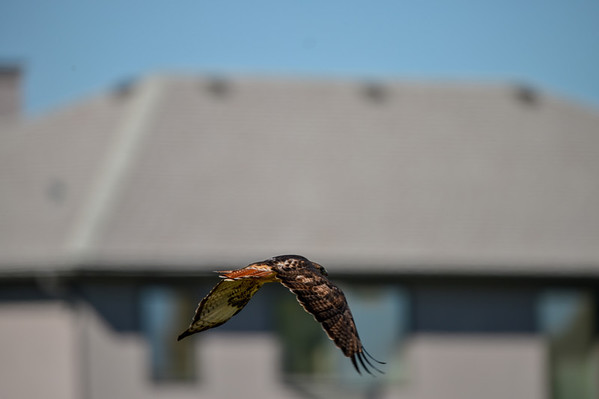 9 2013 Sept 23 Red-Tailed Hawk*