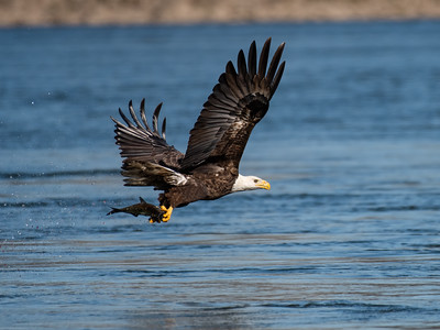 Eagles at Conowingo Dam, November 2020