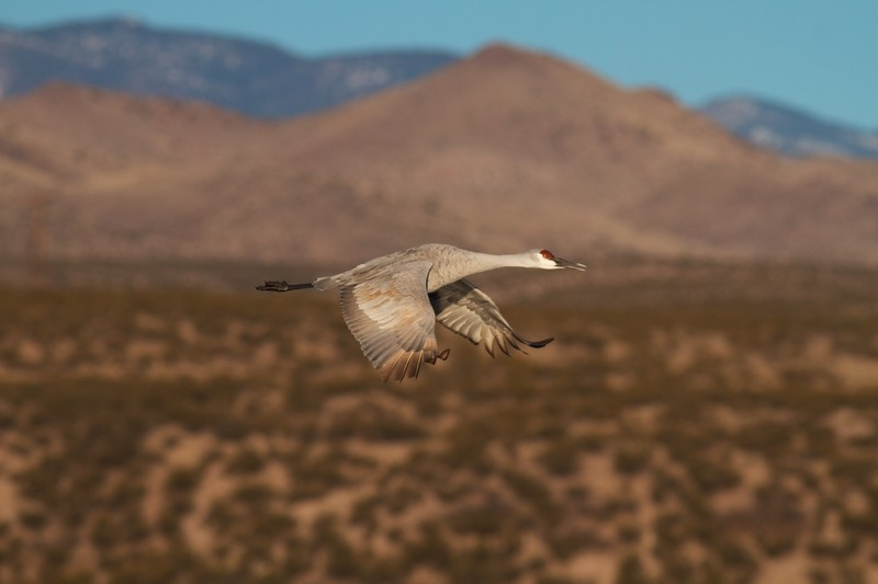 Sandhill Crane Bosque del Apache NWR Socorro NM IMG_1653.CR2.jpg