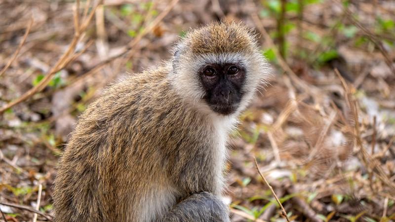 Tanzania-Tarangire-National-Park-Safari-Vervet-Monkey-02.jpg