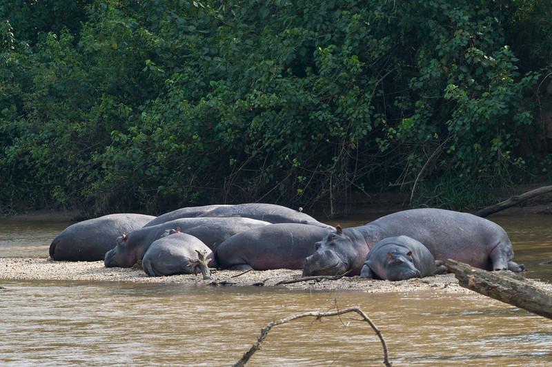 Hippos / Flusspferde