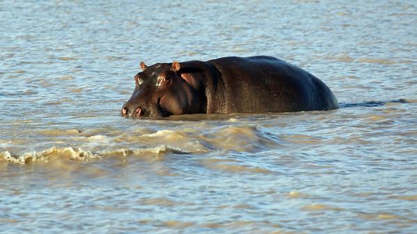 HIPPO ONE