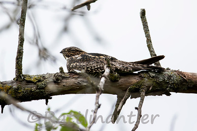 Common Nighthawks