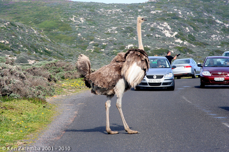 Female Common Ostrich