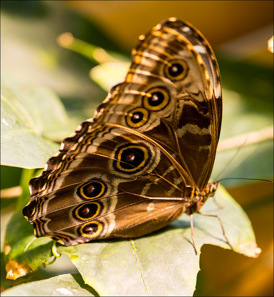 Blue Morpho Butterfly NOLA.jpg