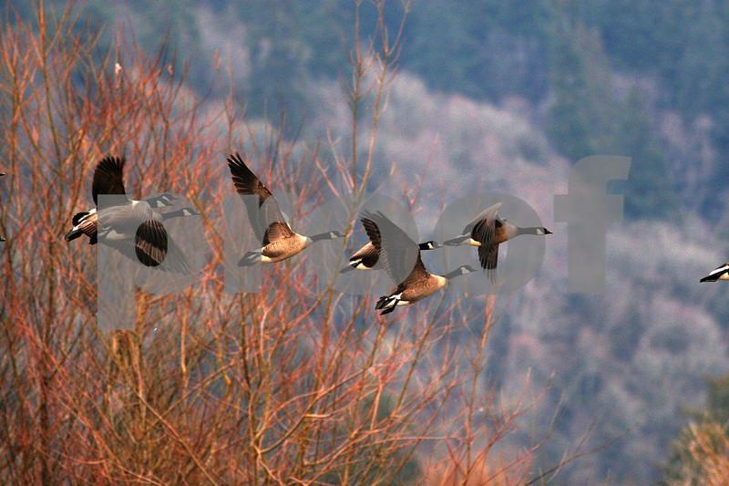 Canada geese flight 4715.jpg