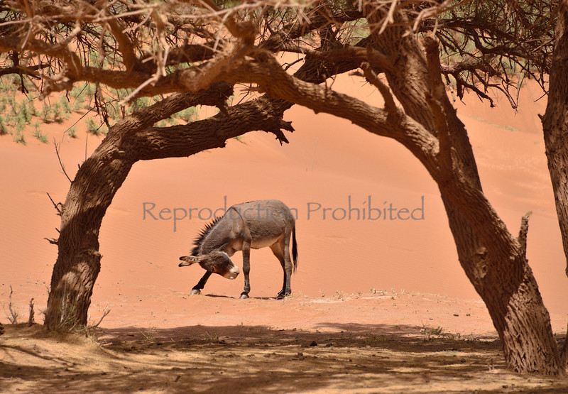 Donkey Sahara, Morocco April 2013