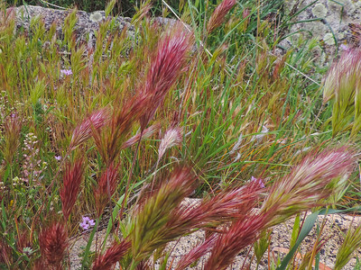 Red Brome (Bromus madritensis)