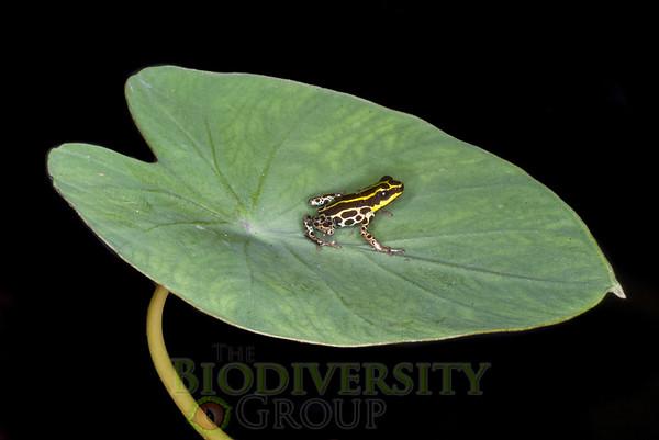 Poison & Rocket Frogs (Dendrobatidae)
