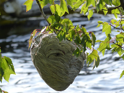 Paper wasp nest, Lake Dunmore, VT.