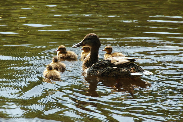 Boston Common Ducks and Ducklings
